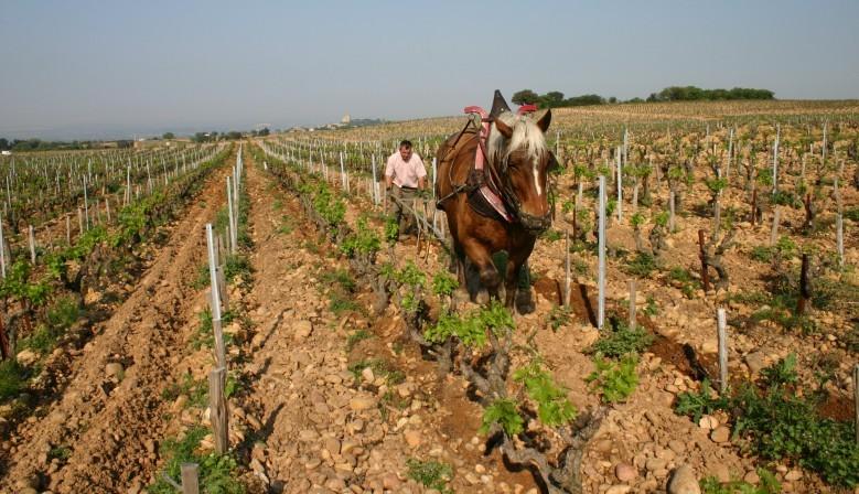 """Le cheval """"Joyeux"""" laboure les vignes lieu-dit """"La Crau"""" au DOMAINE DE BEAURENARD"""